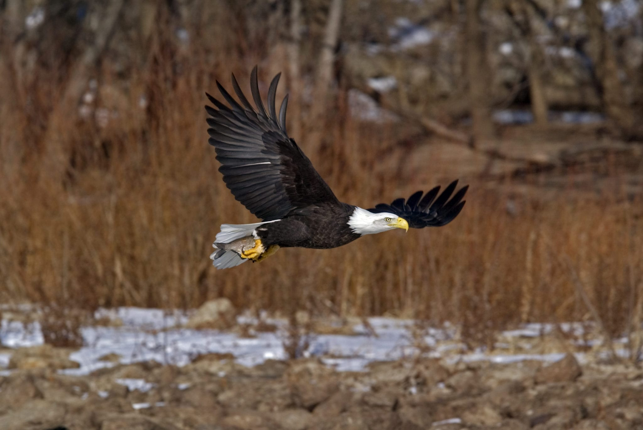 A Bald Eagle flying away from river with fish